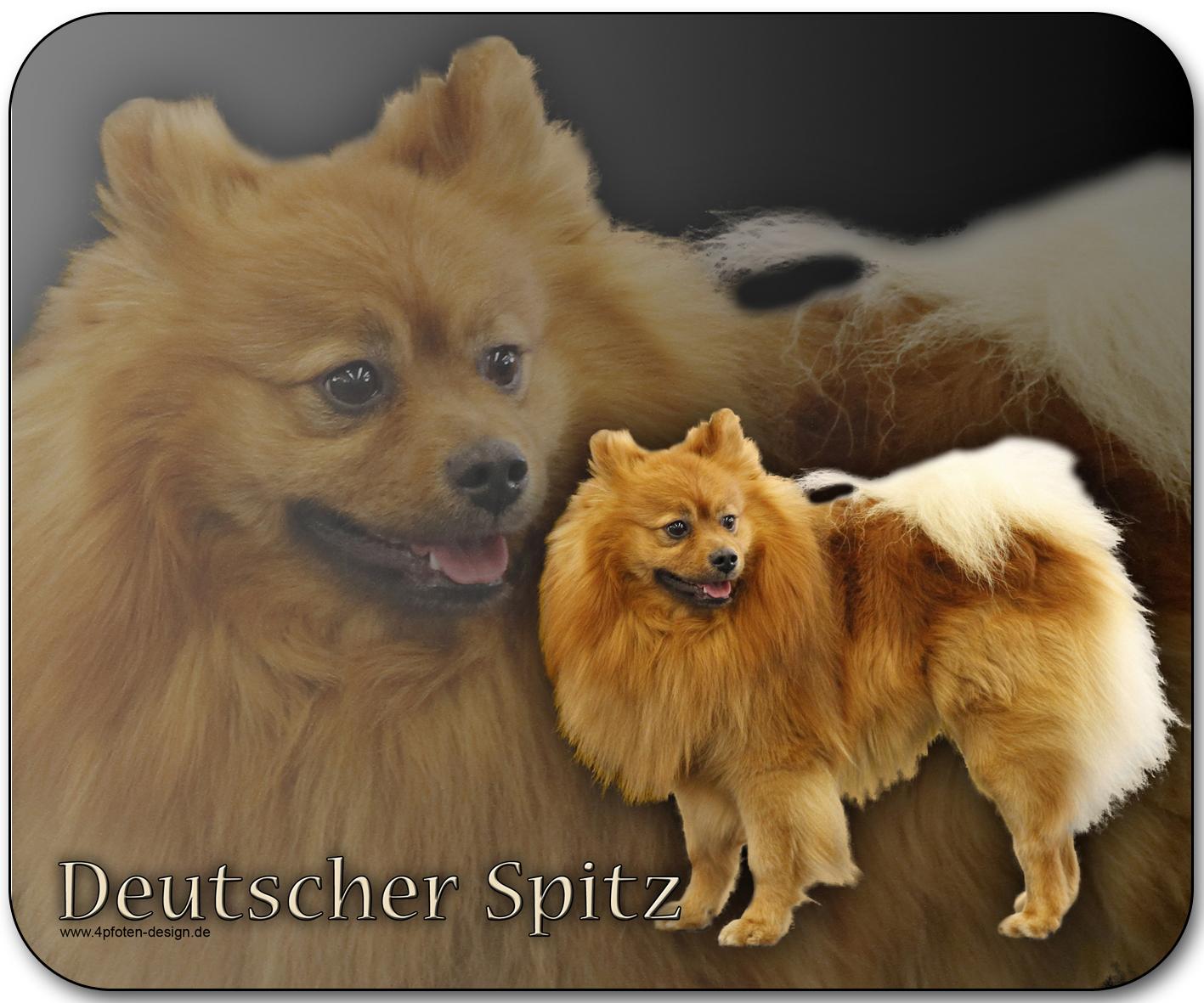 deutscher spitz hund: